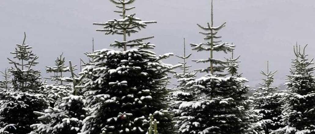 snow-christmas-trees