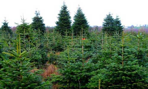 large christmas trees