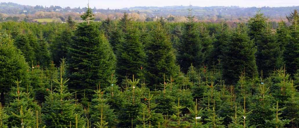 large-christmas-trees