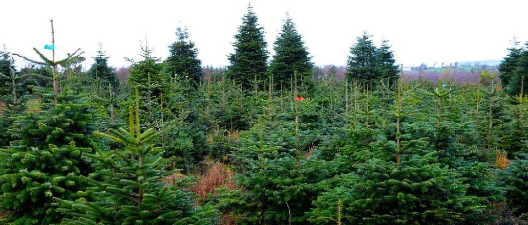 large-christmas-trees2